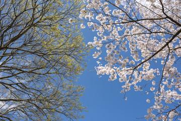 ソメイヨシノの花とケヤキの新芽