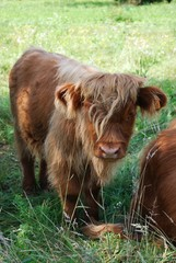 Brown Scottish calf in a green grass field in summer