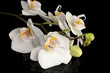 beautiful white orchid, on black background
