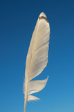 White seagull feather on a background of blue sky