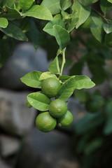 Limetten Zitrusfrüchte