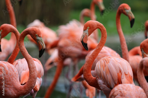 Plexiglas Flamingo Flamingos