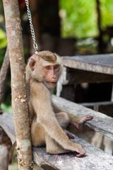 El Mono de Kho Pagnan atado