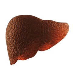 anatomy of human liver
