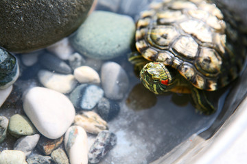 Red eared slider turtle