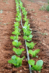 Row of spinach plants