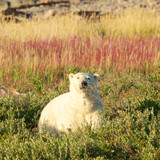 Polar Bear and Fireweed 2