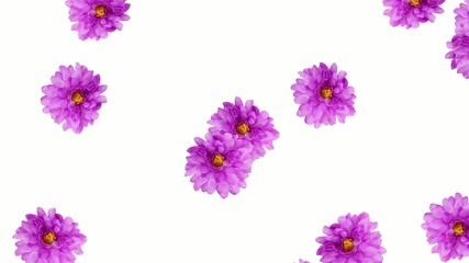 菊の花の落下