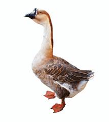 Full length shot of  Greylag Goose