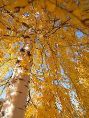 silver birch, wide angle shot of autumnal foliage