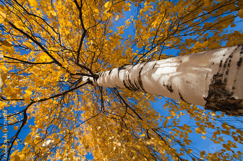 wide-angle shot of autumnal silver birch