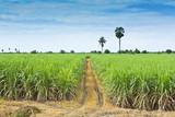 Fototapety sugar cane