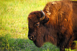 Profile of a Buffalo