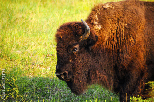 Deurstickers Bison Profile of a Buffalo