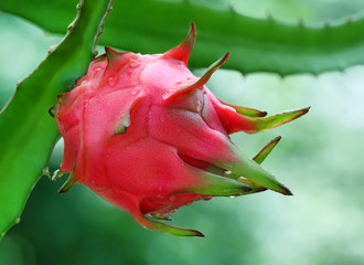 Close up of a dragon fruit