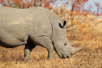 White (square-lipped) rhinoceros