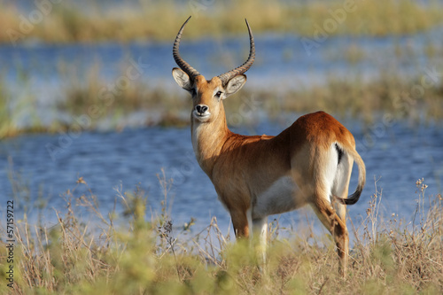 Red lechwe antelope, Chobe National Park