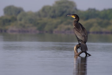 Grand cormoran sur son perchoir