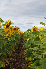 Blossoming sunflowers in field.