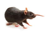 Black rat isolated on white