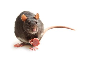Black rat eating sausage on white