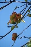 apple and sky