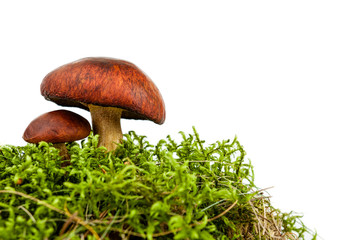 forest mushroom in green moss isolated on white background
