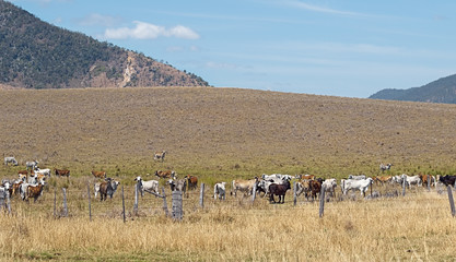 Australian beef cattle cows on ranch