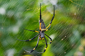 Golden Silk Orb Weaving Spider on Web