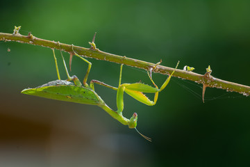 Leaf-Shaped Praying Mantis