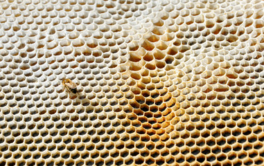 honeycomb with bee on it