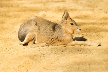 Mara or Patagonian hare 2