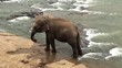 Elephant is bathing in Maha Oya river. Sri Lanka.