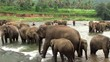 Herd of elephants is bathing in Maha Oya river. Sri Lanka.