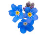 canvas print picture - forget me not