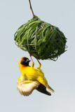 Male Vitelline Weaver inspecting a nest
