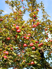 Reife Äpfel am Apfelbaum