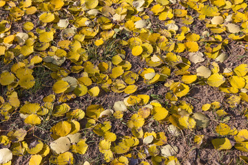 Dead yellow foliage of European aspen (Populus tremula) in autum