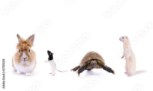 Deurstickers Schildpad Kaninchen–Ratte–Schildkröte–Frettchen
