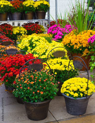 Display of colorful autumn chrysanthemums