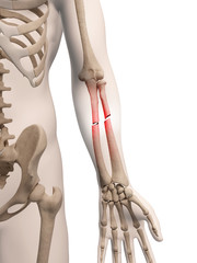 medical illustration of arm bone