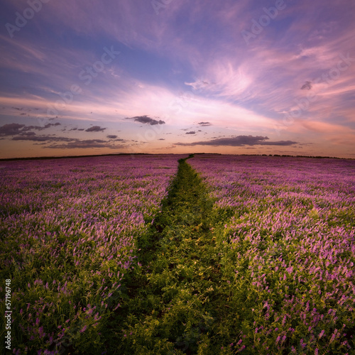 Landscape. Field of lilac flowers.