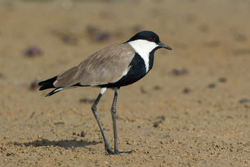 Spur-Winged Plover Standing on mud flat