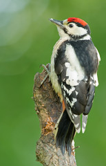 Great spotted woodpecker juvenile