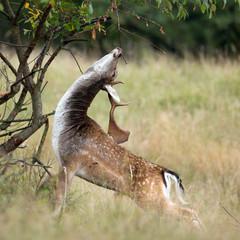 Fallow deer during rutting season