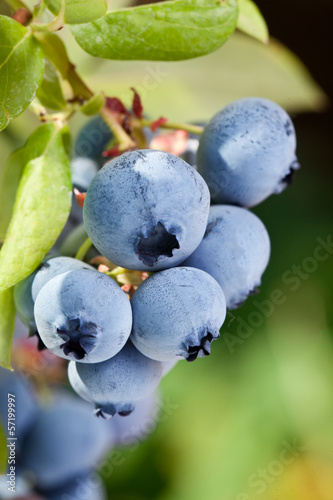 Blueberries on a shrub. © volff