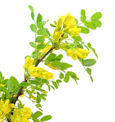 Yellow acacia (Caragana arborescens) branch