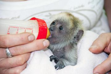 Black howler monkey (Alouatta caraya) baby in hand