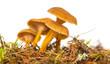 Yellowfoot mushroom