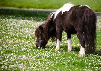 Pony in flower field
